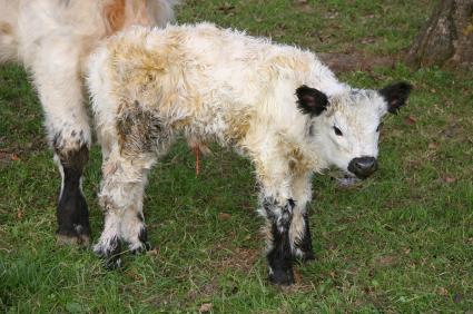 Calf Raising |