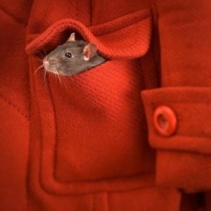 Осторожно! Крысы!