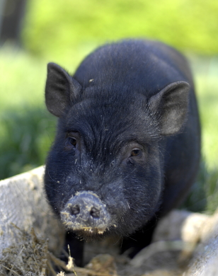 General Care of the Pot Bellied Pig |